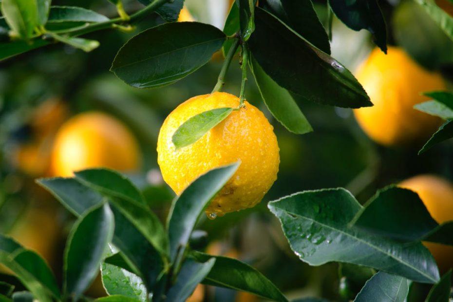 Zitrone - Frucht und Blätter